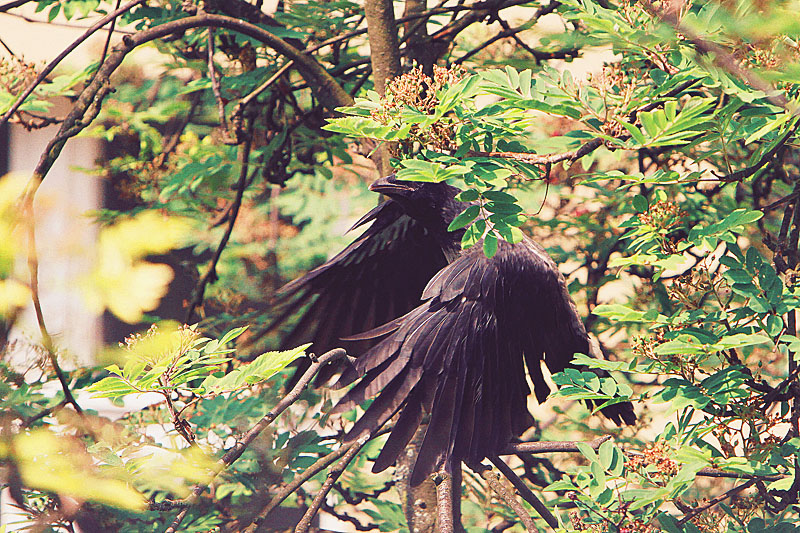 nature-animal-photography-crows-babies