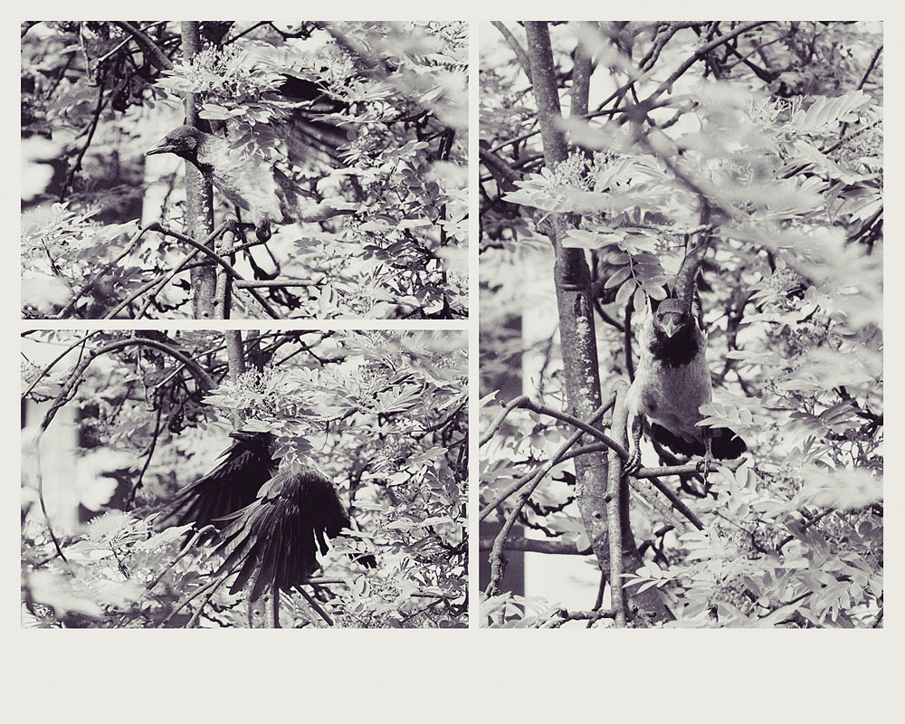 nature animal photography crows babies
